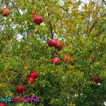 Árbol de Granada en el parque de Nobsa